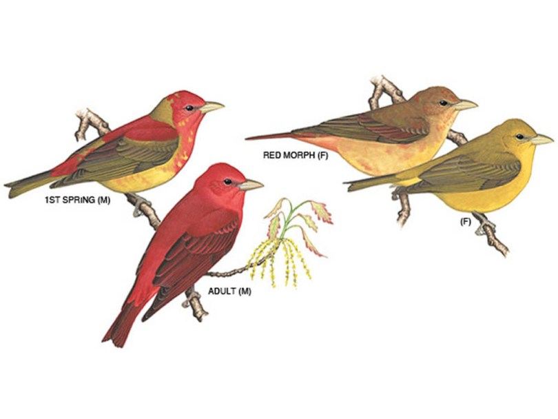 Drawings of summer tanagers in different color phases