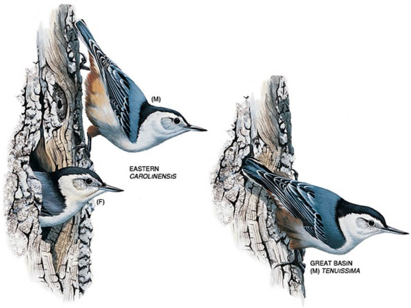 Drawings of white-breasted nuthatches