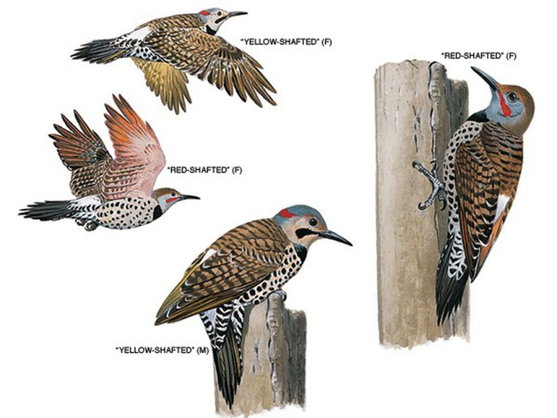 Drawings of yellow-shafted flickers