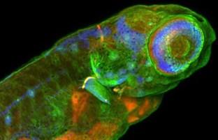 Larva de pez cebra