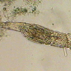 Rotifer Diagram Labeled Gooseneck Wiring Introduction To The Rotifera Oldest Reported Fossil Rotifers Have Been Found In Dominican Amber Dating Eocene Waggoner Poinar 1993