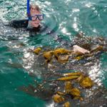 KelpWatch