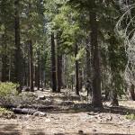 Sagehen forest