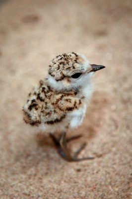 plover release