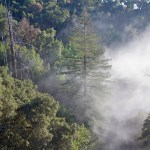 Foggy Link Between Redwoods, Climate Change