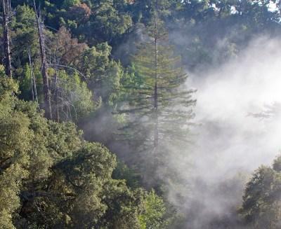 fog redwoods