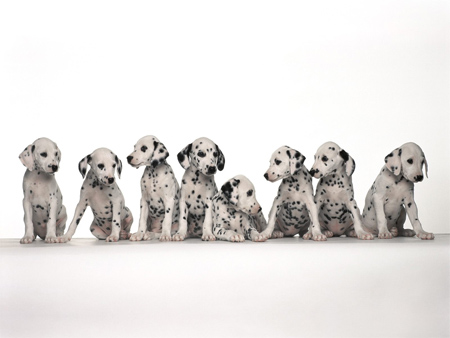 Dalmation Puppies Lined Up