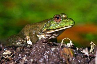 Green bullfrog.