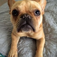 5 Things to Consider When Getting a French Bulldog
