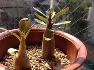 アデニウム・アラビカムの脇芽