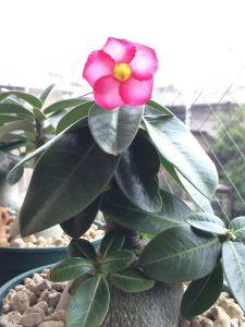 冬に咲いたアデニウムアラビカム