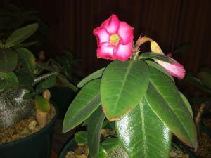 冬に咲いたアデニウム・アラビカム