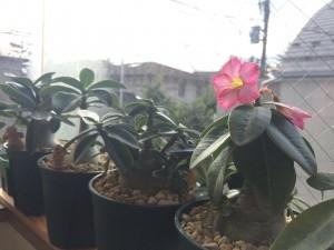 冬に咲いた天空のバラ アデニウムアラビカム