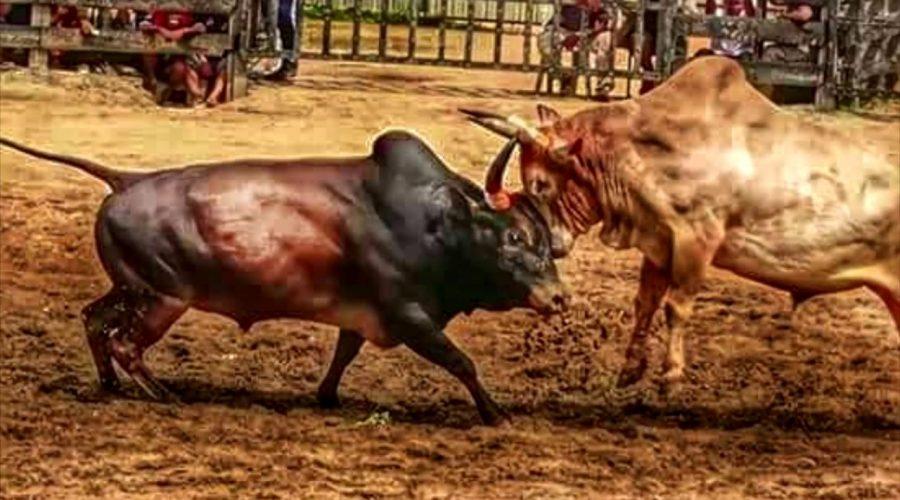 แทงวัวชน