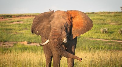 kidepo Valley National Park - elephants in Murchison