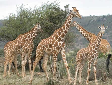 Giraffes Listed Endangered Species Under Threat of Extinction