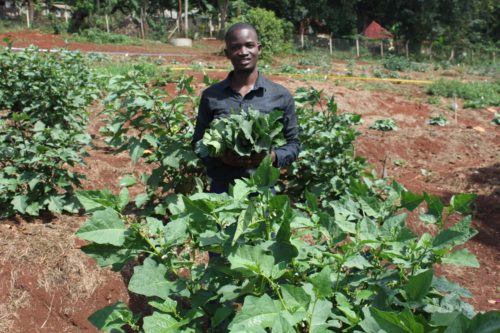 Jovan Kyambadde, teaching assistant, UCU Department of Agricultural and Biological Science, with nakati from the Mukono campus planting area (Photo by UCU Student Samuel Tatambuka)