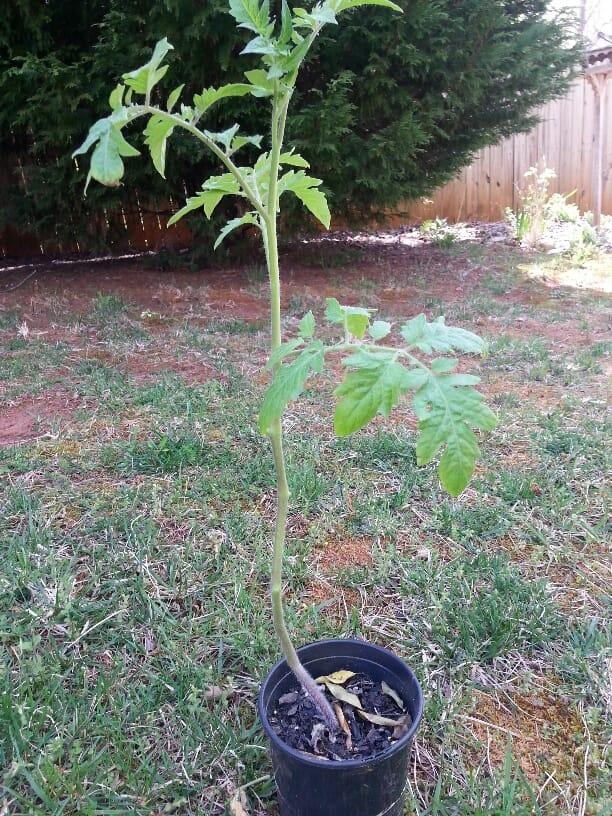 Tomato Planting 2.5
