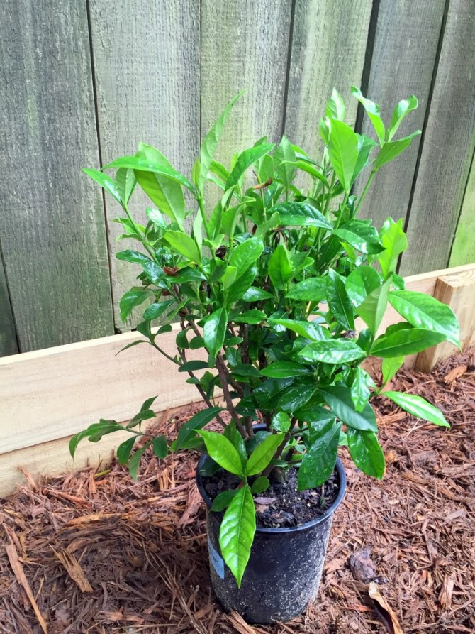 gardenia lasagna gardening