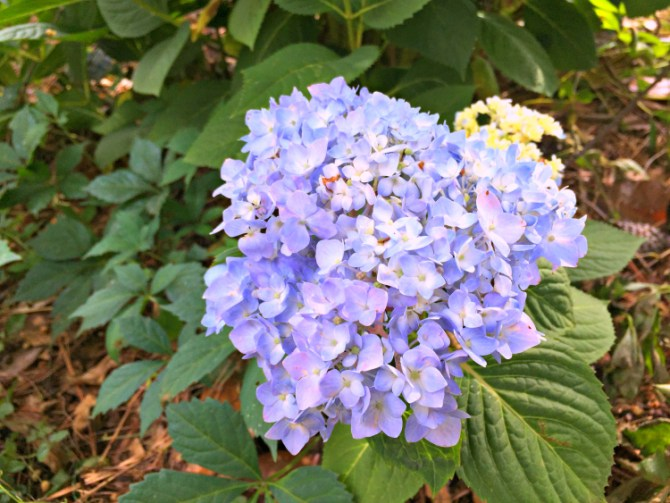 new hydrangeas blooming
