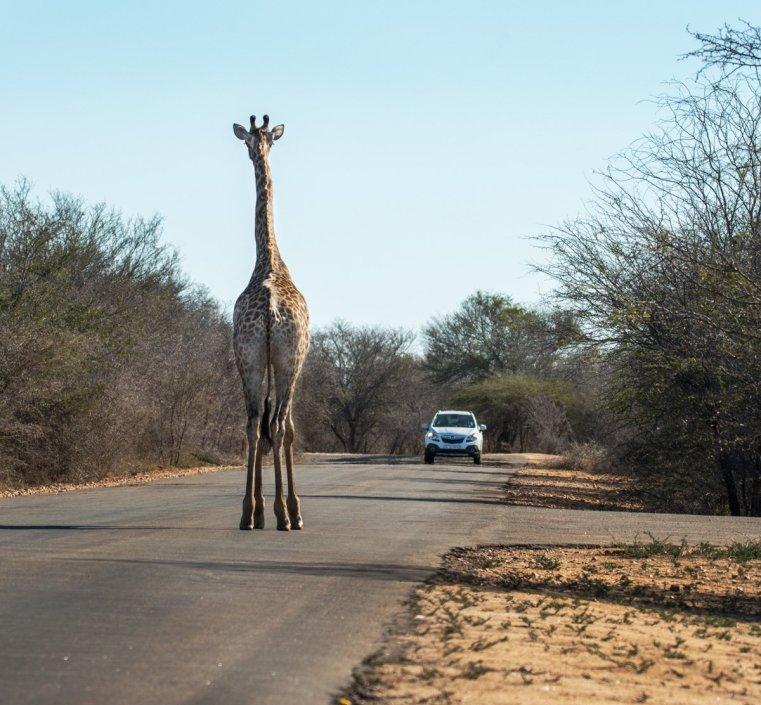 A tourist playing chicken with a giraffe