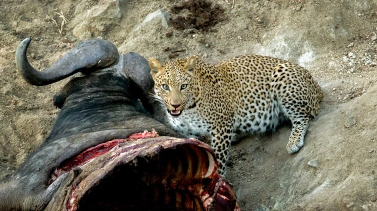 Leopard : if looks could kill!