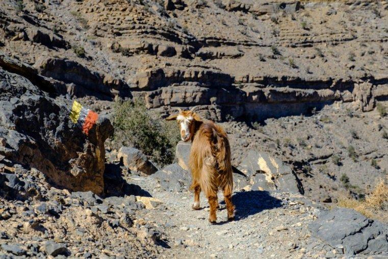 A goat of Jebel Shams, Oman