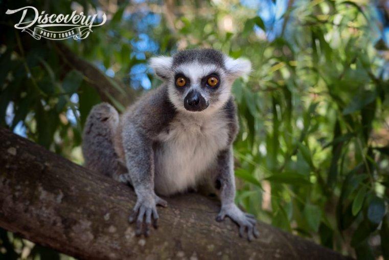 Lemur, Zanzibar
