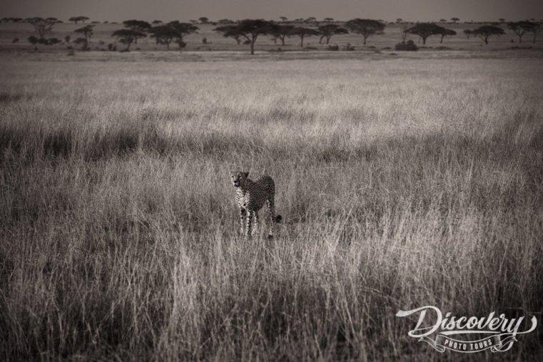 Cheetah – Tanzania VIP Photo Safari
