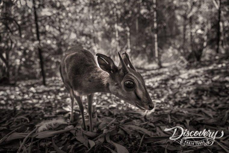 Dik Dik – Tanzania VIP Photo Safari