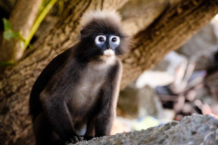 Monkey, Ang Thong National Marine Park