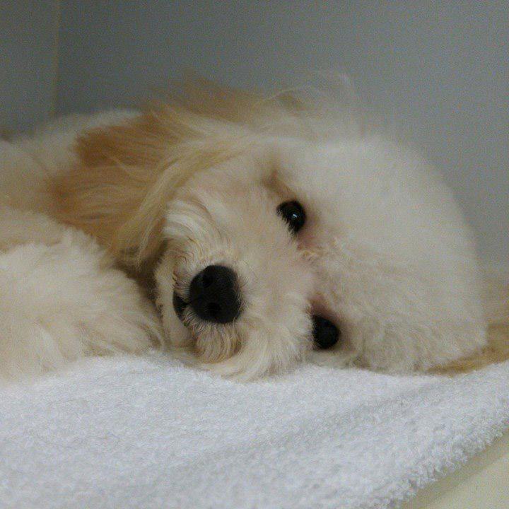犬の避妊手術、そのメリットとデメリット