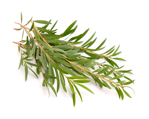 Image result for Tea Tree