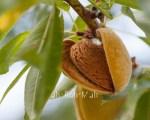 Refined Sweet Almond oil