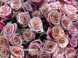Bulgaria Rose absolute oil