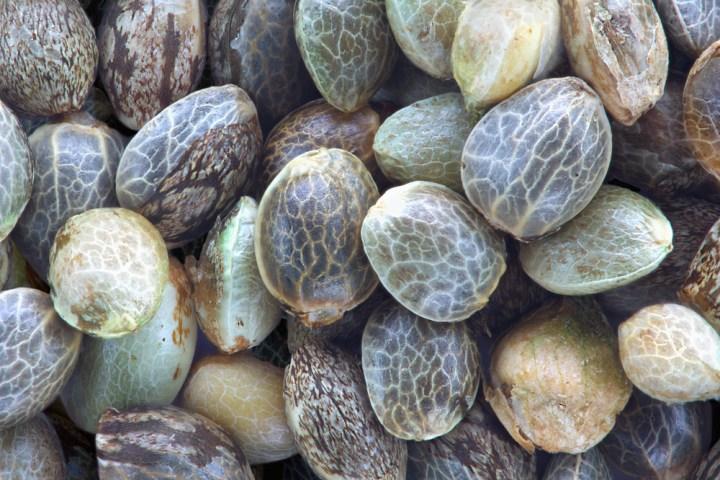 Virgin Hemp Seed Oil