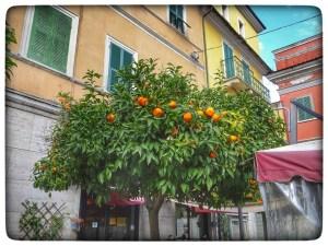 Seville Oranges on the trees
