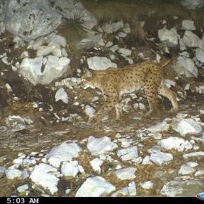 Albanian lynx
