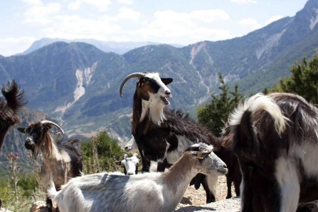 July 18, 2017, goats are seen in the village of Nivica, southern Albania. An ambitious project is aiming to open up remote villages in the highlands of southern Albania to the outside world and to tourists wanting to discover the spectacular natural beauty and rural way of life of the more isolated parts of the Balkan country. (AP Photo/Geo Delveroudis)