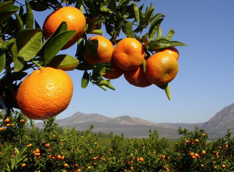 Albanian clementines
