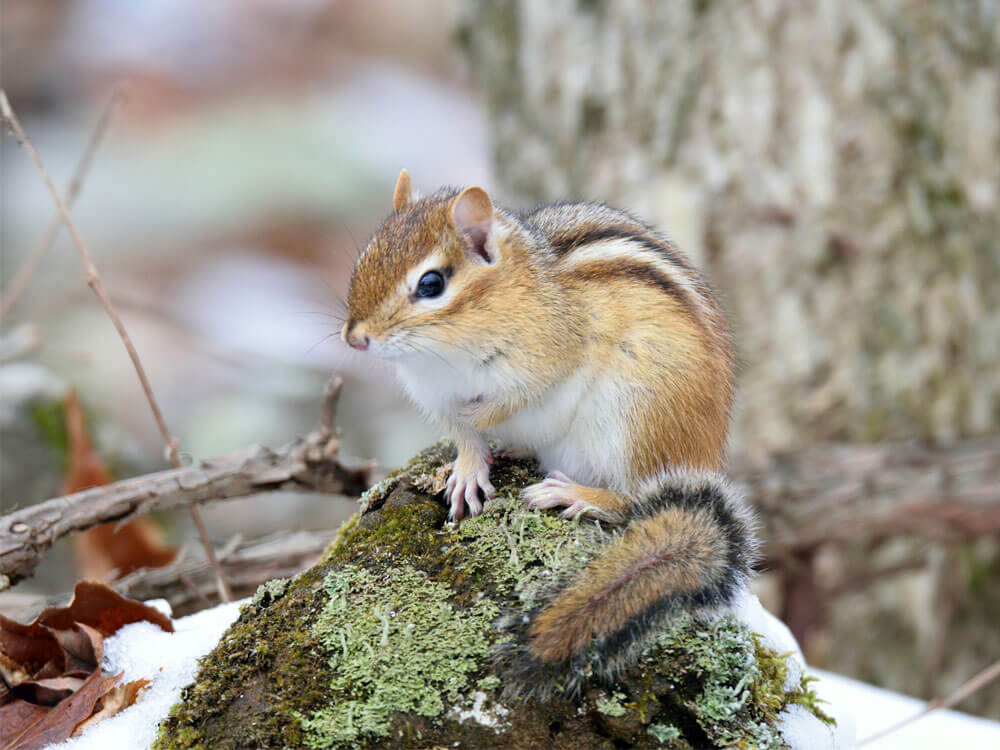 chipmunks as pets uk