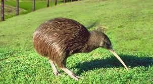 طائر الكيوي النيوزيلندي