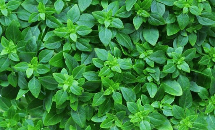نبات الريحان
