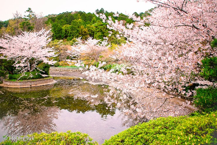 الحياة والموت والتجديد من المعاني العميقة في أزهار الكرز في اليابان