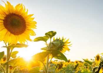 بذور عباد الشمس