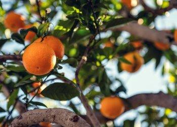 فيتامين سي في البرتقال