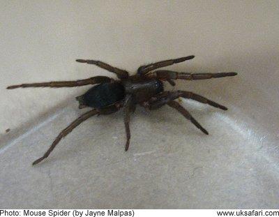 Mouse Spiders  Scotophaeus blackwalli  UK Safari