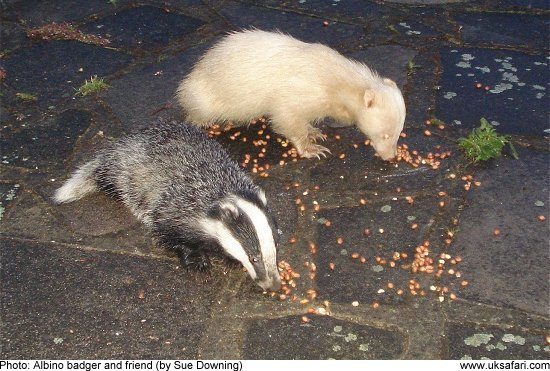 Albino Leucistic And Erythristic Badgers Uk Safari