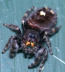 Jumping Spiders of Kentucky  University of Kentucky