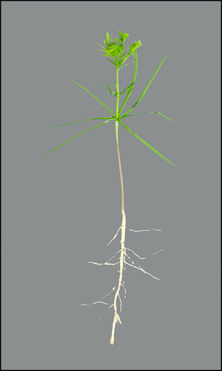 Bald cypress Taxodium distichum  Department of Horticulture